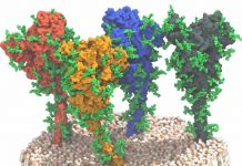 SARS-CoV-2 S (spike) proteins © MPI f. Biophysics/ von Bülow, Sikora, Hummer